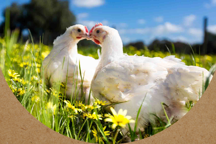The Bare Bird - 100% Antibiotic Free - Vegetarian Fed Chicken