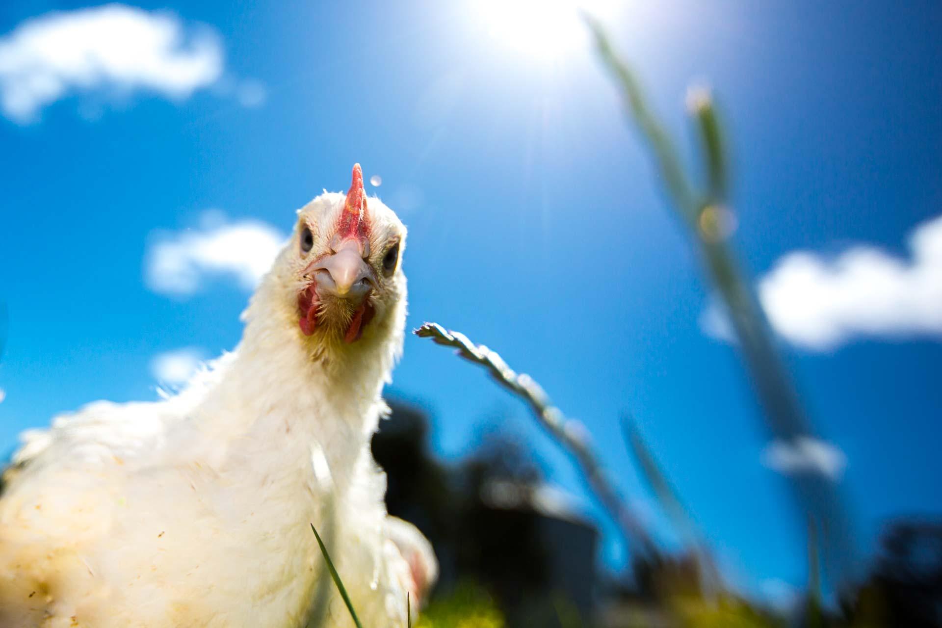 The Bare Bird - Antibiotic Free Chicken